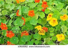 nasturtium flowers stock photo of nasturtium flowers k9659062 search stock