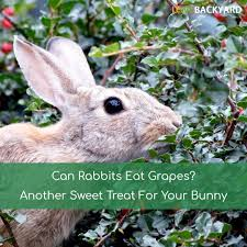 can rabbits eat grapes another sweet treat for your bunny nov 2017