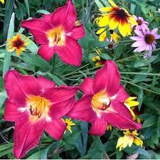 Day Lillies Buy Daylillies Boston Lexington Concord Daylillies From Seawright