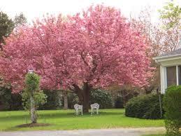 best 25 cherry tree varieties ideas on cherry fruit