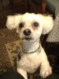 bichon frise x jack russell oscar the bichon frise needs a new home dawg