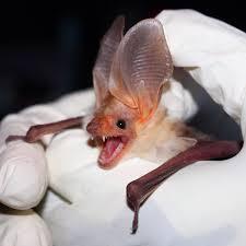 pallid bat wikipedia