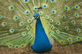 merak biru kertas dinding hewan burung burung merak cerah bulu biru