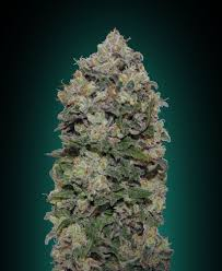 northern lights yield indoor northern lights 00 seeds