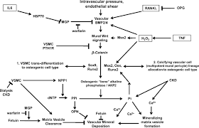 inflammation and the osteogenic regulation of vascular
