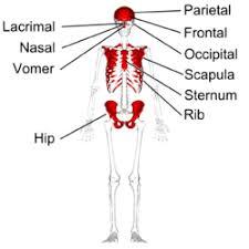 Anatomy Of The Human Body Bones Flat Bone Wikipedia