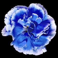 blue carnations carnation blue carnation petunias and flowers