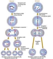 Mitosis vs  Meiosis   Biology Forums Gallery Biology Forums