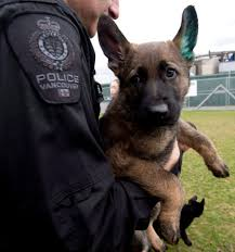 belgian shepherd vancouver vancouver police show off new k9 recruits ctv vancouver news