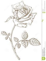 knumathise realistic rose drawing outline images