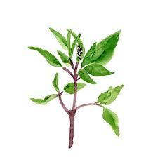 basil art print of original watercolor painting herb botanical
