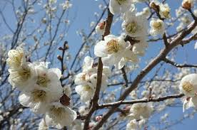 white cherry blossom japanese white cherry blossoms free stock photo by