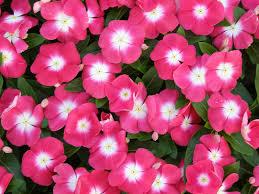 vinca flowers growing tough crops vinca pro mix greenhouse growing