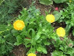 texas native plants list medicinal plants of texas