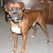 boxer dog feet best 10 american boxer dog ideas on pinterest american boxer