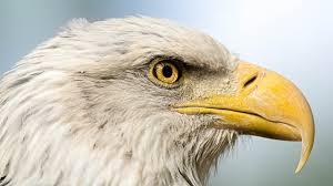 birds eagles beak head animals