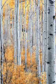 716 best the beautiful birch images on pinterest birches aspen aspen trees near gunnison co