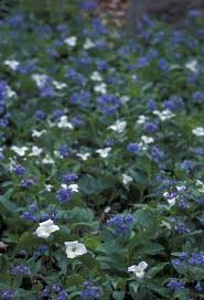 file white and blue flower petals of the white trillium and