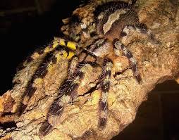 kingsnake photo gallery tarantulas sri lankan ornamental