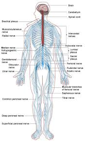 Outline The Anatomy And Physiology Of The Human Body Introduction To The Nervous System Boundless Anatomy And Physiology