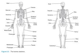 Which Cell Helps In Movement Of Bones The Skeletal System