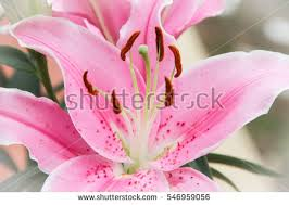 Pink Lily Flower Close Pink Lily Flower Stock Photo 691360318 Shutterstock