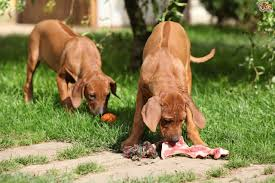 the raw food debate in dog feeding decoded pets4homes