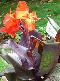 canna lilies this is the canna page of our a to z guide to plants how