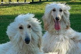 afghan hound grooming styles afghan hound page 1