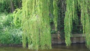 the root system of a weeping willow sciencing