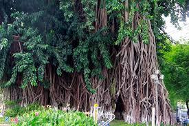 pictures saigon s unique trees news vietnamnet