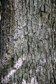 White Oak Bark Milkweed Wondermyway