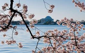 when do cherry blossoms bloom in washington d c travel leisure