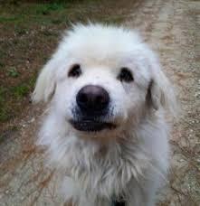 great pyrenees rescue provides wonderful dogs to good homes dog for adoption bumble near neshkoro wi petfinder