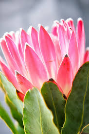 where to buy petals heart of gold petal by petal pink protea