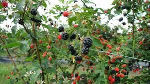 blackberry plants youtube