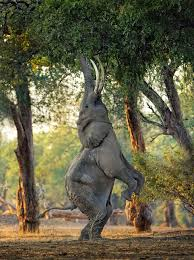 elephant stands on its back legs to eat tree top leaves daily