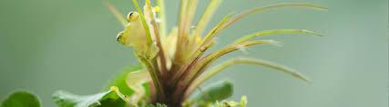 species profile northern glass frog centrolenella fleischmanni