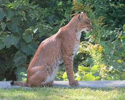 Bobcat sighting on base reported gt hanscom air force base