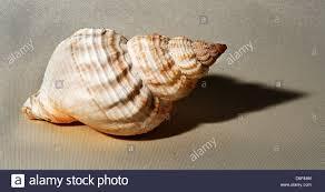 sea snail stock photos u0026 sea snail stock images alamy