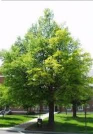 live willow oak tree 4 5 ft drought tolerate ornamental bare root