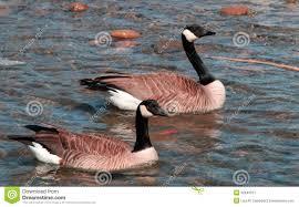gander goose and gander swam together stock image image 52643371