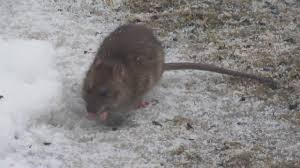 pets in my own backyard oh rats youtube