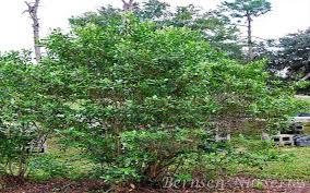 wholesale trees naples