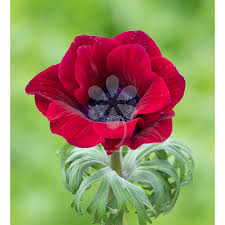 anemone plant anemone coronaria bordeaux from 5 95