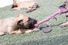 belgian malinois breeder california litter of 8 belgian malinois puppies for sale in imperial beach