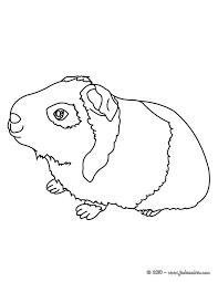 coloriages coloriage d u0027un cochon d u0027inde à imprimer fr hellokids com