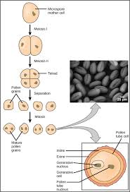 Which Is A Reproductive Cell Plant Reproductive Development And Structure Boundless Biology