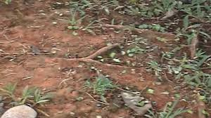 jungle leaf cutter ants marching colony insects eco system central