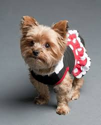 Dogs Halloween Costumes Pictures Yorkie Halloween Costumes Contemporary Surfanon
